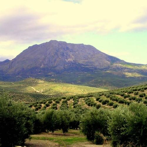 paisaje-olivos